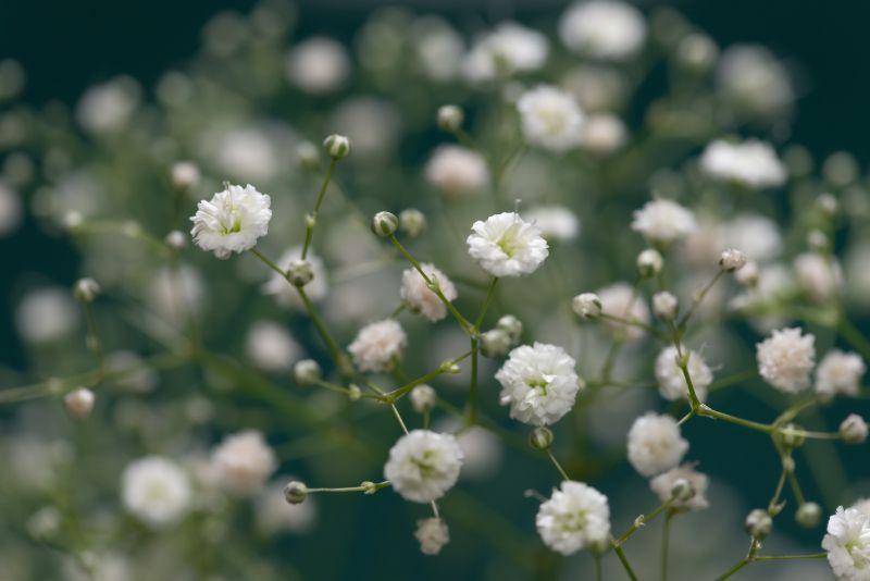 の 言葉 カスミソウ 花